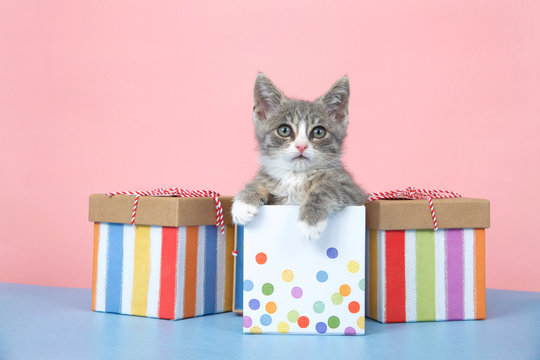One small gray and white tabby kitten sitting in a pastel dotted birthday present box with striped boxes on each side. Blue surface, pink background.