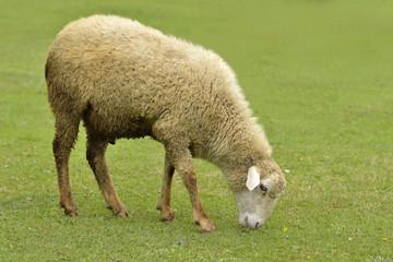 Sheep Grazing Green Grass in Hills