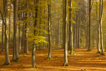 Morning Forest/ Kashubia, Poland
