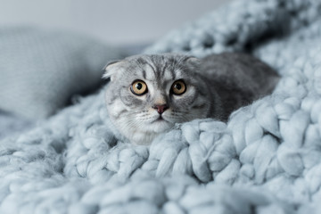 scared fluffy scottish fold cat lying on wool blanket in bedroom