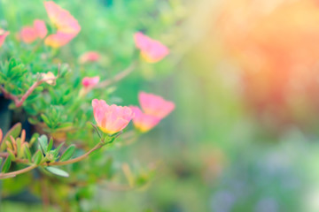 beautiful flower in pastel color with blur background for backdrop background use