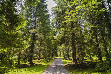 A forest path with pine trees in the mountains in the Carpathians, Romania