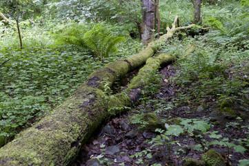 Green tree trunk next to the Fairy Glen Falls