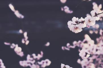 Blooming sakura flowers with copy space on dark background