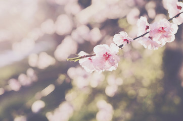 Blooming pink cherry flowers on soft spring background