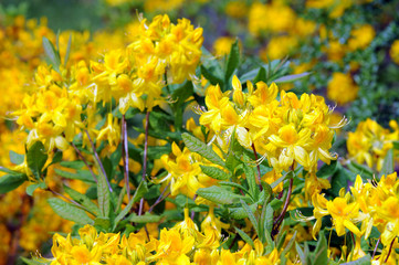 yellow Azalea bush blooming in springtime
