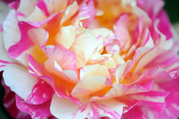 pink roses in a gardening blooming