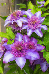 Purple Clematis flowers on a rustic background with copy space
