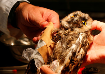 An injured owl has its broken wing fixed at a hospital for wild birds in Hortobagy National Park