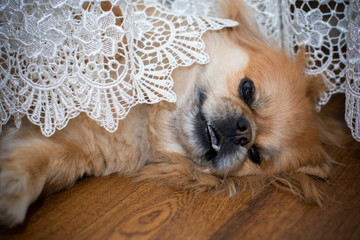 Happy red light pekingese in lace at cozy home. Best friend ever for people