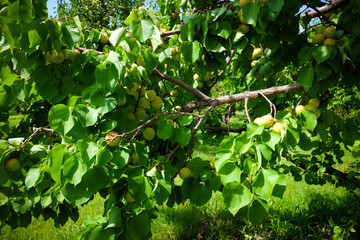 apricots trees