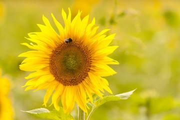 Slonecznik i pszczoła na zielonym pomaranczowym tle