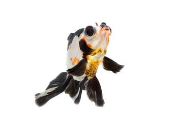 fancy goldfish isolate on white background