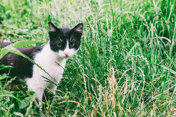 Young rustic black and white cat in green grass, toning photo