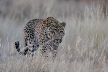 Leopard schleicht sich an, Namibia