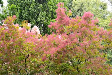 Wig-tree (Cotinus coggygria Scop.) with pink veins