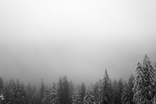 Pine trees covered in snow in a white out blizzard