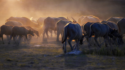 The atmosphere is beautiful during sunset. With Fields filled with herds of buffalo.