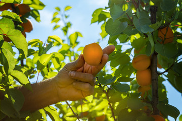 Apricot harvesting in an orchard. Farmer is picking a ripe apricot.