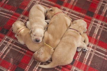 Golden Retriever Puppies Sleeping