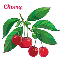 Vector branch with outline ripe red Cherry, bunch, berry and green eaves isolated on white background. Ornate floral elements with branch cherry fruit in contour style for summer design.