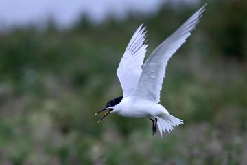 Sandwich Tern (Sterna sandvicensis), adult in flight, Farne Islands, Northumbria, England, UK.