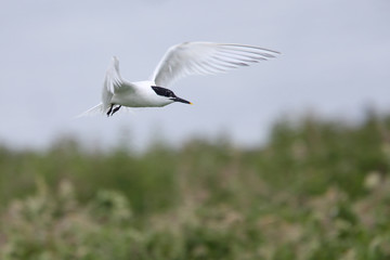 Sandwich Tern (Sterna sandvicensis), adult in flight, Farne Islands, Northumbria, England, UK.