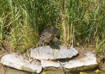 tortue prenant le soleil au bord de l'eau sur son rocher