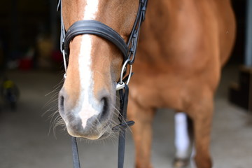 Chestnut mare wearing snaffle bridle