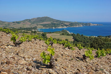 Coastal landscape field of vineyard and the bay of Paulilles, Mediterranean sea, south of France, Pyrenees Orientales, Roussillon, Cote Vermeille
