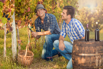 Two young winemakers are working in vineyard during the fall harvest