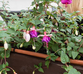 Blooming fuchsia flowers in Prague