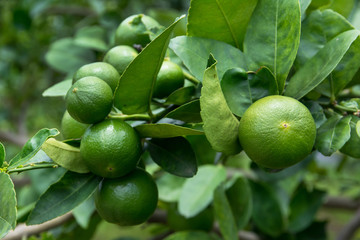 Green limes with branch in the garden