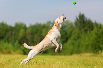 labrador dog jumps for a ball