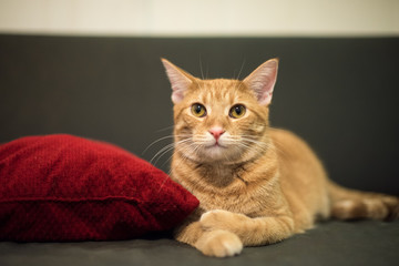Cute tabby cat relaxing on a sofa by a red pillow