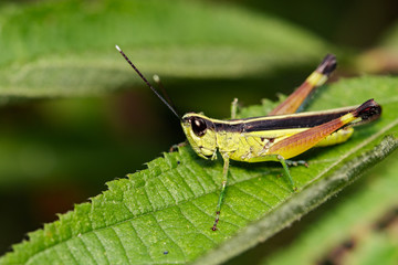 Image of grasshopper (Sugarcane White-tipped locust., Ceracris fasciata) on green leaves. Insect Animal. Caelifera., Acrididae