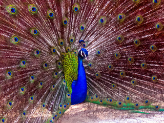 A beautiful peacock with a blue body and a fully opened multi-colored tail