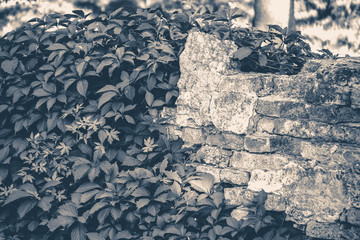 Old vintage photo. Wall brick ivy twisted