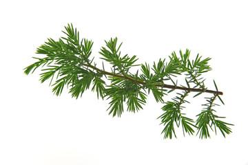 Gemeiner Wacholder (Juniperus communis) freigestellter Zweig vor weißem Hintergrund