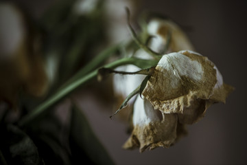 Dried roses in vase with dramatic lighting