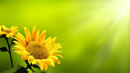 sonne scheint auf sonnenblume