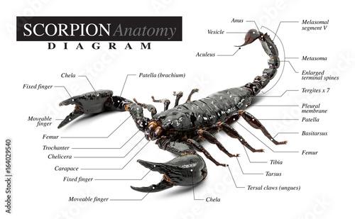 Scorpion diagram\
