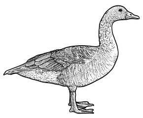 Bean Goose illustration, drawing, engraving, ink, line art, vector
