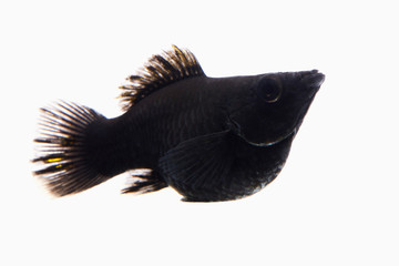 small black fish in white background