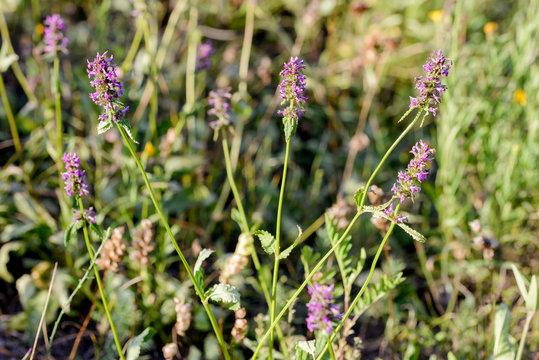 Stachys officinalis flowersalso known ascommon hedgenettle, betony,purple betony,wood betony,bishopwort, orbishop's wort, growing in the meadows close to the Dnieper river in Kiev, Ukraine
