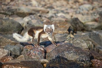 polar fox(Vulpes lagopus)