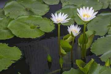 Good morning with beautiful lotus flower.