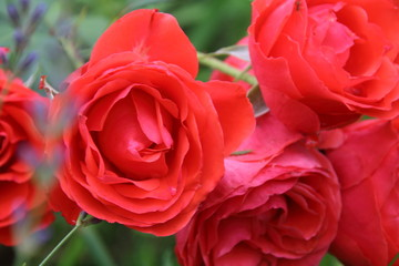 Bud of red rose