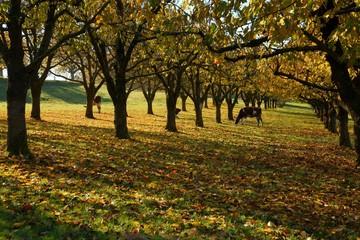 Swiss cows in a yellow autumn garden