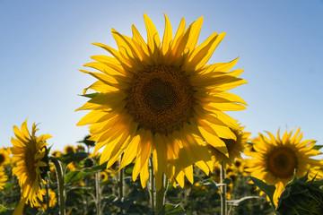 Girasol  de espaldas al sol al atardecer